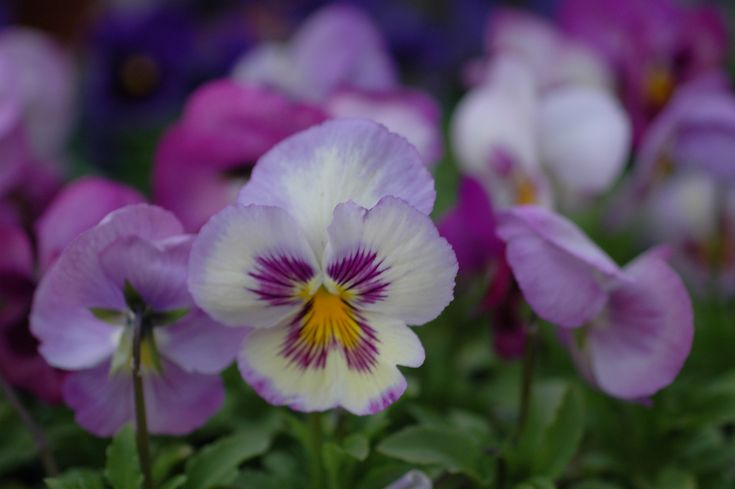 Traditional Pansies add a splash of early-spring color to the garden