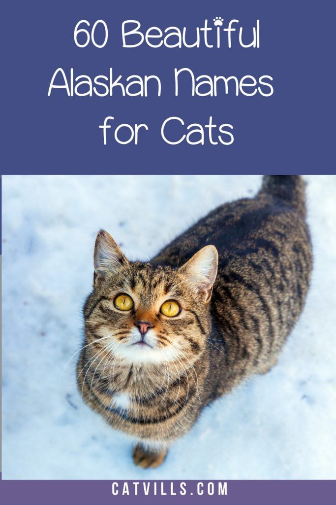 Top 60 Most Beautiful Alaskan Cat Names You Ve Ever Heard Catvills In 2020 Cat Names Alaskan Cat Signs