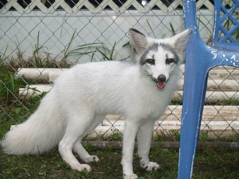 domesticated marbled fox