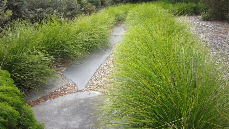 Lomandra longifolia 'Breeze' - For ouside fence in a tidy row of glory! 2-3' tall and wide. Its medium green leaves are accented by spiny flower spikes lightly honey scented. Drought tolerant and of range of conditions. requires little to no maintenance once established. Sun or shade. Hardy to below 20° F. A useful plant for mass plantings in difficult situations, including the Eucalyptus understory.