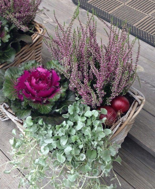 Herbst-Pflanze-Pflanzer-Heide-Zierkohl