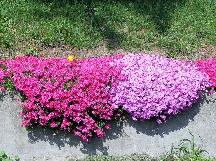 Creeping phlox for over wall bordering koi pond