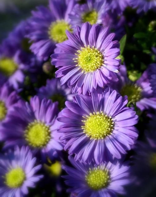 221 Best Images About Aster On Pinterest Purple Birth