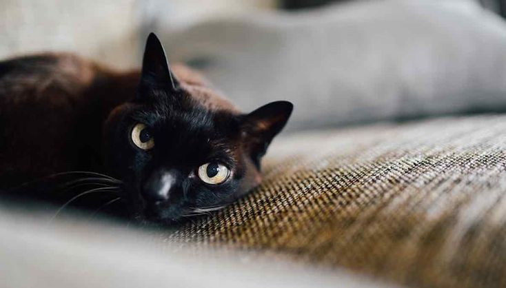 Black cats are less likely to be adopted than their differently-colored counterparts. But the latest Marvel flick to hit theaters may be changing the superstition.