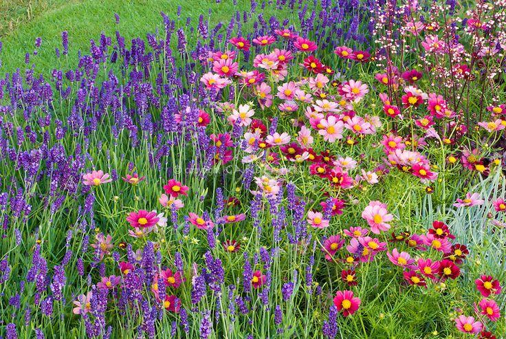 Bright sunny garden border combo salvia farinacea cosmos for Annual flower garden designs