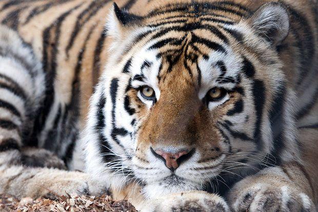 Mike VI, LSU's live tiger mascot, star of SEC Network promo ...