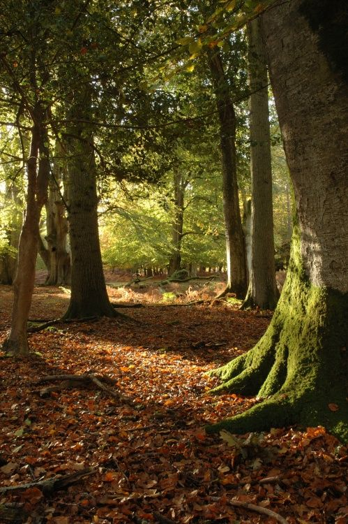 Sunlight and Shadows, Bolderwood, Hampshire