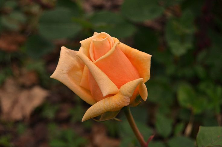 Beautiful rose by Michael Verhoeven - Photo 153308111 - 500px