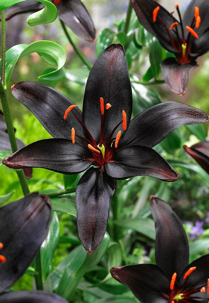 ~~ Asiatic lily 'Queen of the Night' | Thoroughly spectacular and totally unique, Queen of Night boasts big flowers so dark they appear black in the garden. Large red-orange stamens highlight the ebony blooms nicely. Their sweet fragrance is a lovely accent to their incomparable beauty | Spalding Bulb~~