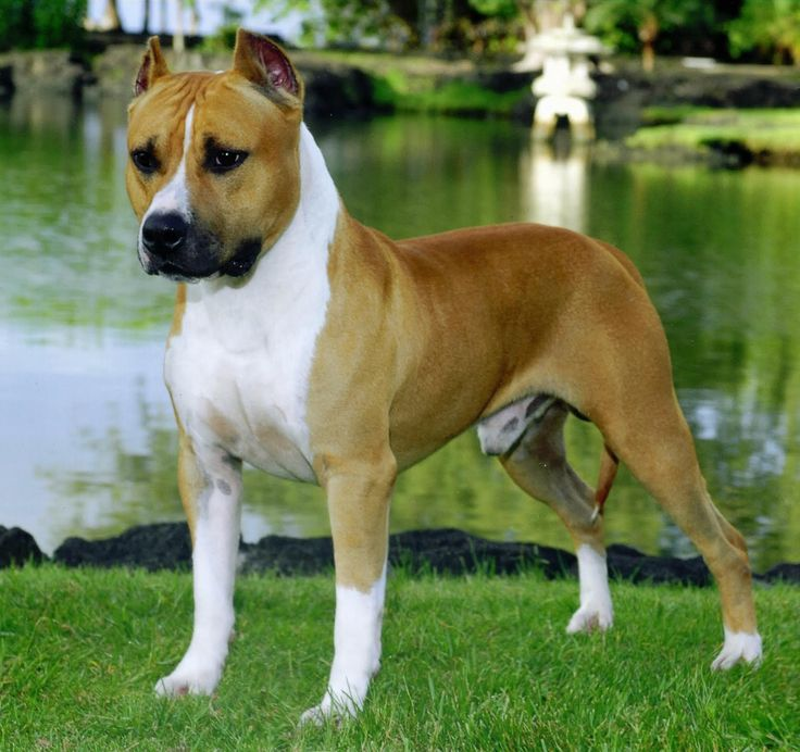 American Staffordshire Terrier Brown Wallpaper - http://backgroundwallpaperpics.com/american-staffordshire-terrier-brown-wallpaper/