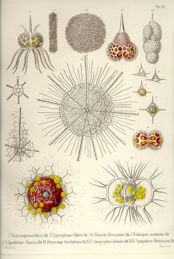 These Are The 35 Copper Plates That Accompanied Ernst Haeckels Radiolaria Book From Volume Has Kindly Been Provided By Prof Were Scanned