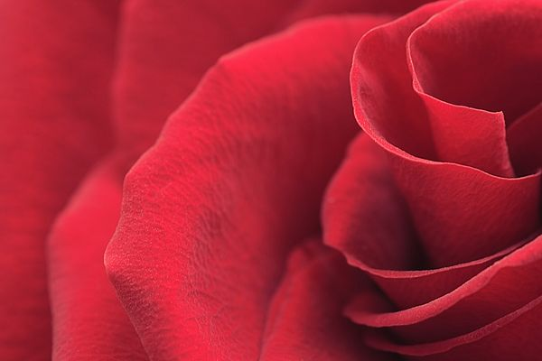 Red Rose Close-up By Irina Safonova Photograph - Red Rose Close-up by Irina Safonova#IrinaSafonova#Works #FineArtPhotography #HomeDecor#IrinaSafonovaFineArtPhotography #ArtForHome #FineArtPrints #HomeDecor #Flora#Flower