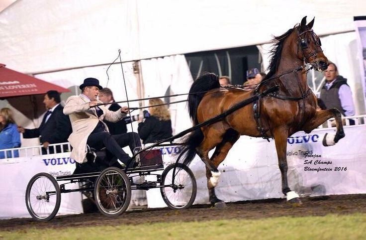 "Saddle Horses SA on Twitter: ""2016 SA Grand Champion Single Harness –""Gielet Electric Express"" shown by Tommy Ferreira (Photo Fotojan Photography) https://t.co/3AYGbd06nT"""