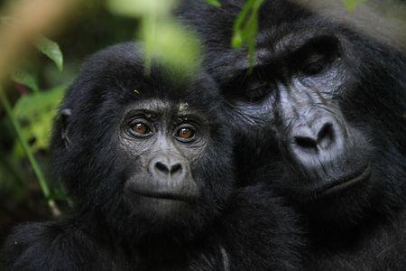 Mountain Gorillas, Mountain Gorilla Pictures, Mountain Gorilla Facts - National Geographic