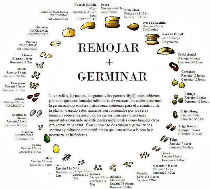 """La germinación """"es el proceso por el cual una semilla se transforma en planta"""". Todas las plantas pasan por un período de germinación, pero no todos los germinados son comestibles. La semilla tiene, fundamentalmente dos partes principales: el embrión y el endospermo (es una reserva que nutrirá al embrión hasta que se convierta en planta). …"""