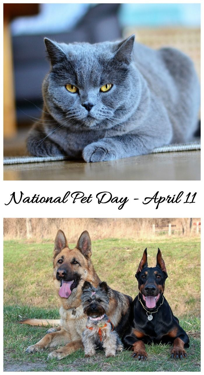 National Pet Day is April 11. Time to show your furry friends some extra love. Find out about this day and how to celebrate it on Always the Holidays.#nationalpetday
