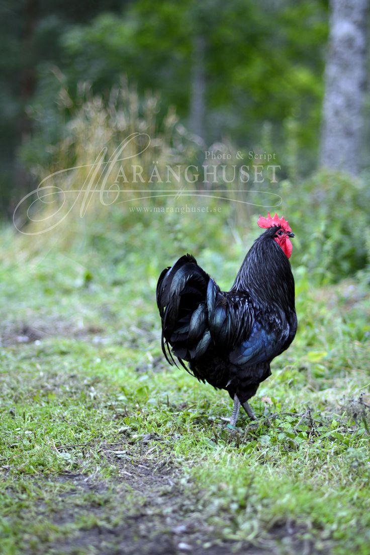 18 best roos images on pinterest chicken breeds chicken coops