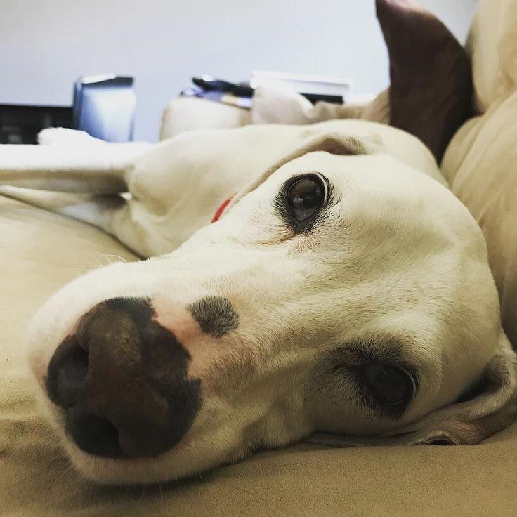 Having a lazy Sunday afternoon and this sofa hog has half the sofa to himself! #adagedance #harrogate #yorkshire #louislemonspot #dogsarefamily #dogsofinstagram #ilovemydog #lazyboy #adagefamily