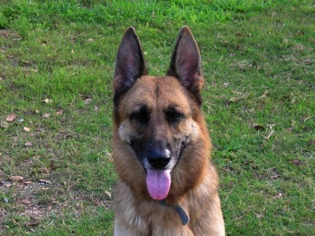 Purebred German Shepherd Rescue | Purebred German Shepherd to Adopt | Lifeline Dog Rescue