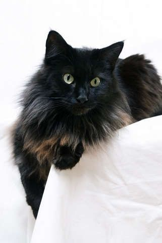 smokey black Turkish angora persian