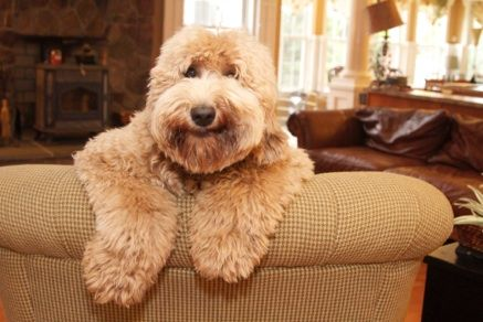 Why an Australian Labradoodle? Two main research and development centers in Australia, Rutland Manor and Tegan Park, have been developing pups with four main characteristics: non shedding; low to non allergenic; bred for temperament; highest health standards--to fill a special need for a hypo allergenic dog with a service dog quality temperament---many generations of selectively breeding the desired coat type, temperament and health standards.