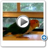 Video on Different Parrot Training Tricks...