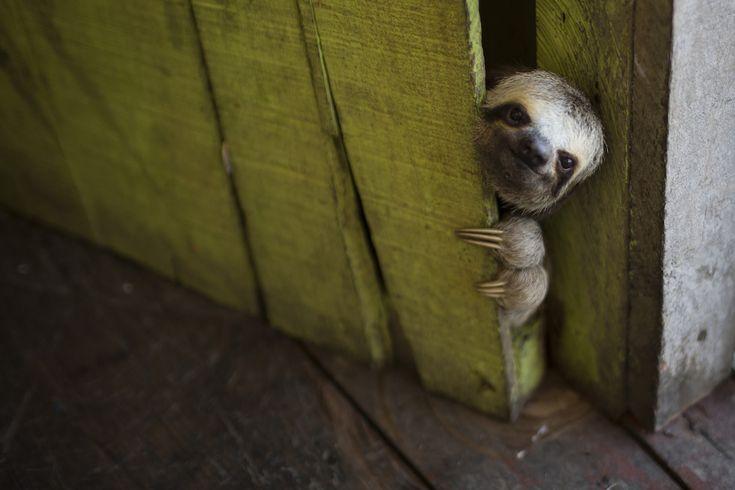 """Un cucciolo di bradipo sbuca da una porta di una casa galleggiante sul """"Lago do Janauari"""", vicino Manaus, in Brasile (AP Photo/Felipe Dana)"""