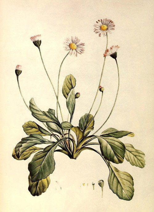 151 best images about antique botanical prints on for Botanical tattoo london