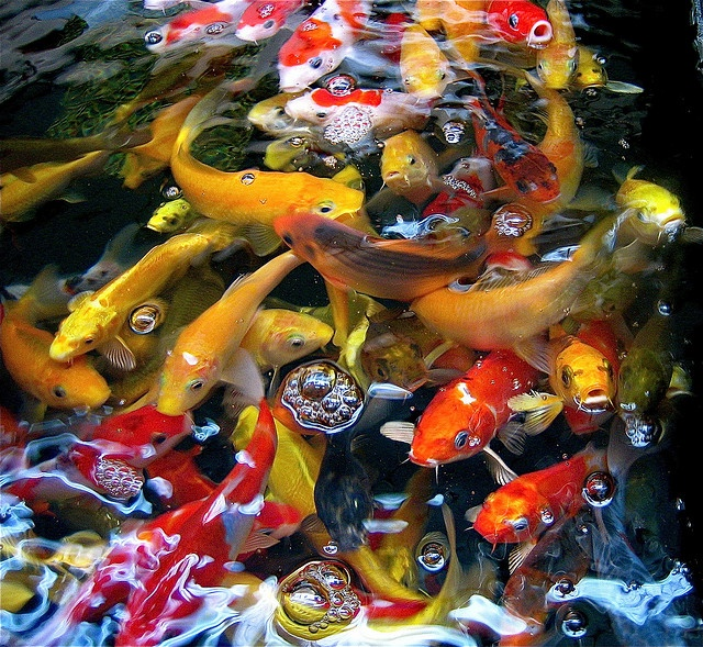 1000 images about koi on pinterest japanese koi for Koi carp henlow