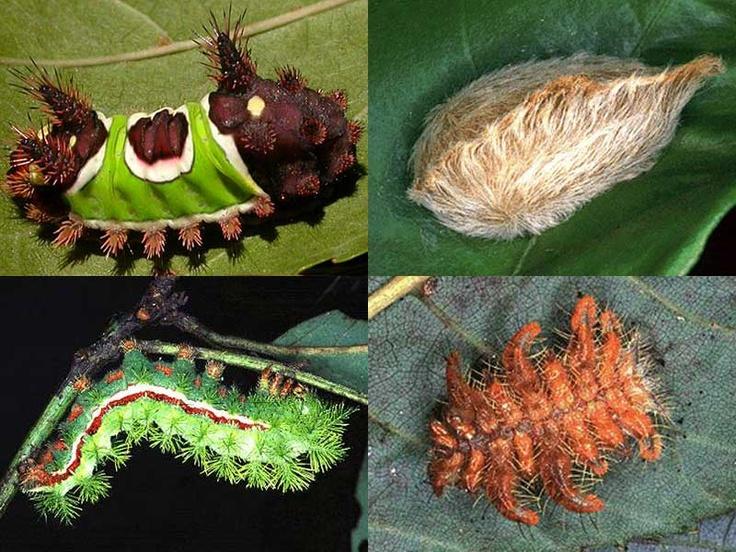 Stinging Caterpillars of Texas Caterpillar, Butterfly