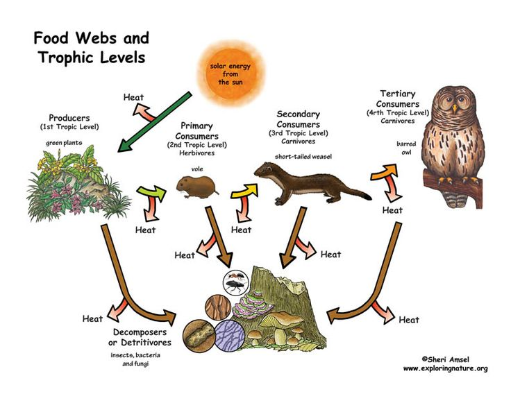 The 25 best trophic level ideas on pinterest food chains about food webs and trophic levels sciox Choice Image
