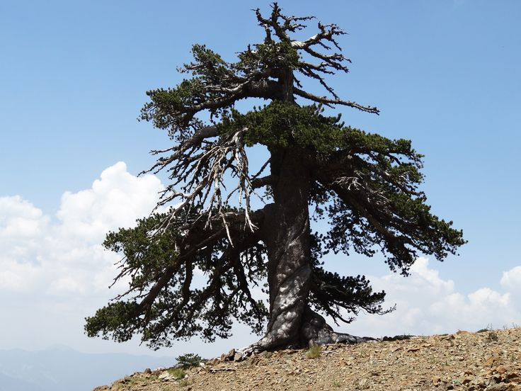 """The world's oldest tree, a 9,500-year-old Norwegian Spruce named """"Old Tjikko,"""" after Professor Leif Kullman's Siberian husky, continues to grow in Sweden. Discovered in 2004 by Kullman, professor of Physical Geography at Umeå University, the age of the tree was determined using carbon-14 dating."""