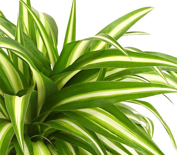 Grunlilie Dehner In 2020 Pflanzen Grun Lilien