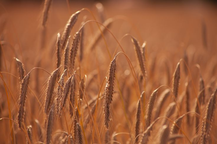 wheat_stock_by_aredelsaralonde-d9nh6k9.jpg (5616×3744)