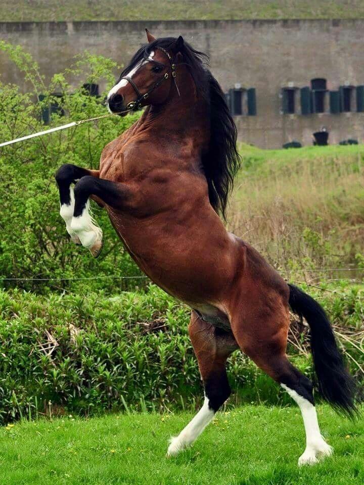 1046 best welsh cob welsh pony images on pinterest. Black Bedroom Furniture Sets. Home Design Ideas