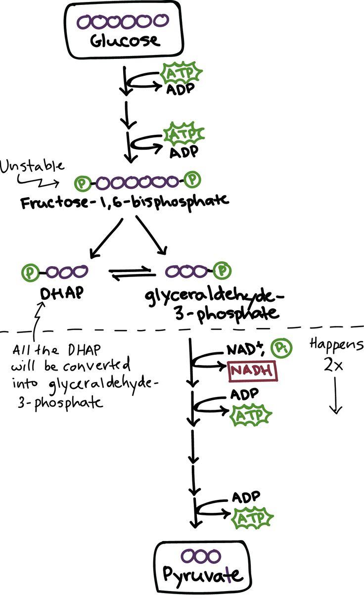 (2) Glycolysis | Glycolysis | Khan Academy