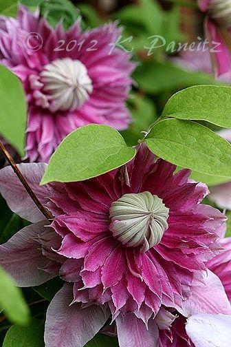 One of the prettiest Clematis I've seen. ~~Clematis 'Josephine1'
