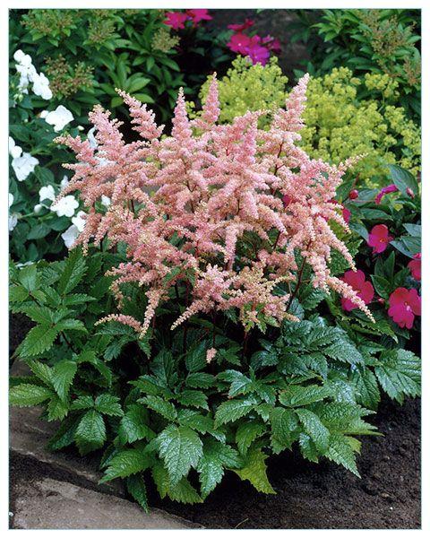 Tawułka Arendsa Bressingham Beauty [#6662] | ŚWIATCEBUL.pl \ Tawułki | Świat Cebul.pl... tu zaczyna się Twój ogród. Cebulki kwiatowe, bulwy i kłącza.