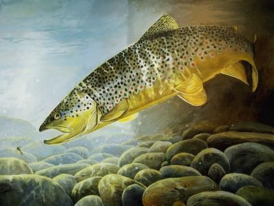 Big Brown Trout Paintings | Big HoleBrown High Country Brown Varney Bridge Brown