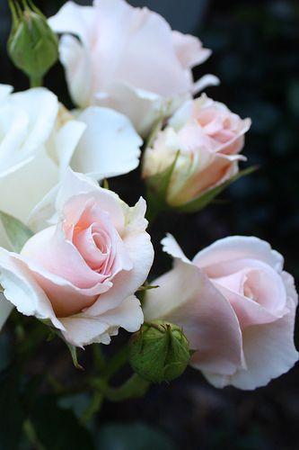 blusing roses