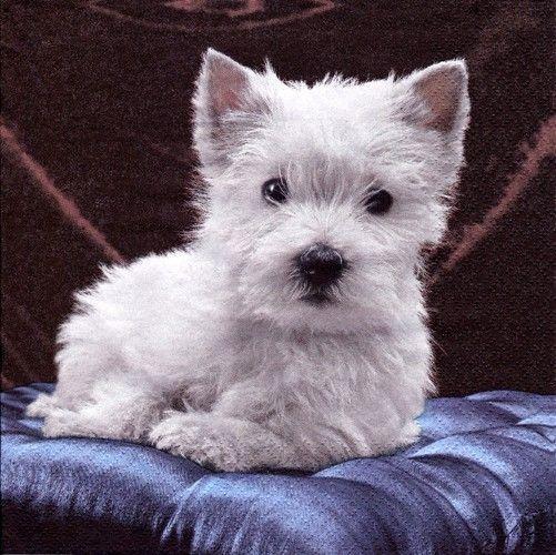 Szalvéta i2663 Terrier white - Szalvétaüzlet - Szalvéták és decoupage kellékek árusítása nagy választékban.
