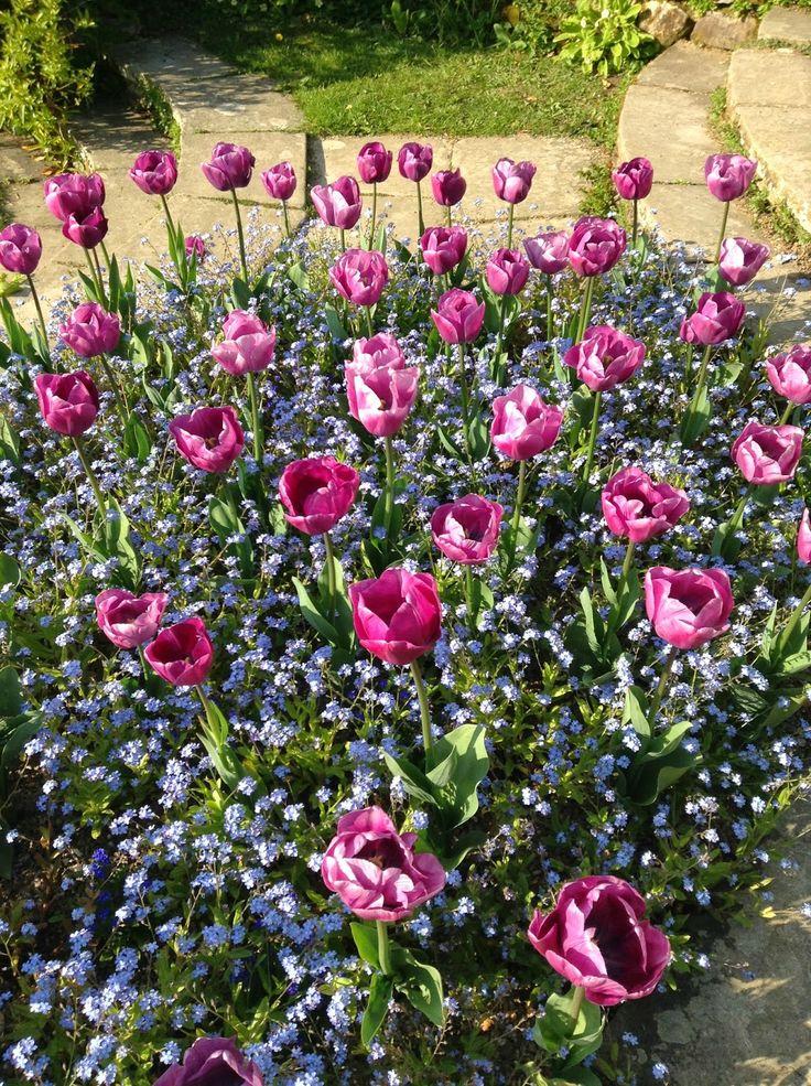 Tulipa and Myosotis plant combination at @Great Dixter Garden - Shoot from Lutyens' Circular Steps by Noemi Mercurelli