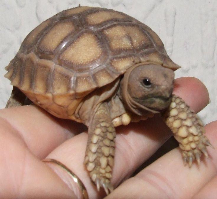 african spurred tortoise baby   pixshark     images