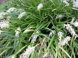 Ophiopogon – Ophiopogon japonicus
