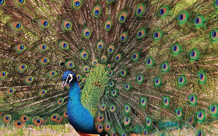 What do Peacocks Eat in the Wild and as Pets?