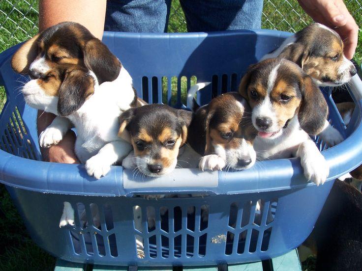 beagle puppies:)