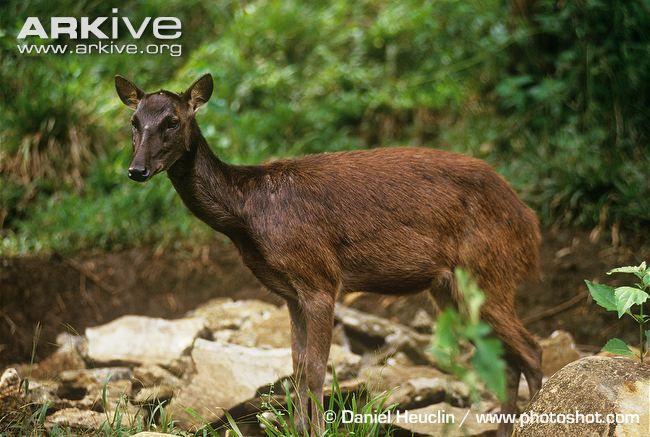 52 best ️Deer III Cervidae: Rodon Rusa Tarpan Taruca ...