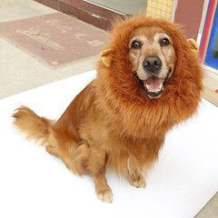 Costume Dog Lion's Mane Wig-Brown or Black Available