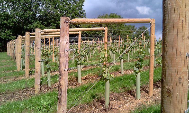 Trellis for grapes   Grape vine trellis, Grape trellis ...