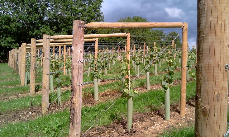Grapevine trellis designs grape trellis training systems for Trellis design ideas